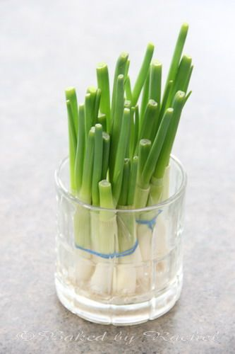 regrowing from cut green onion bulbs
