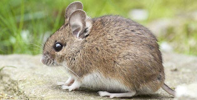 رؤية الفأر في المنام لابن سيرين وابن شاهين Animals Baby Animals Funny Cute Animals