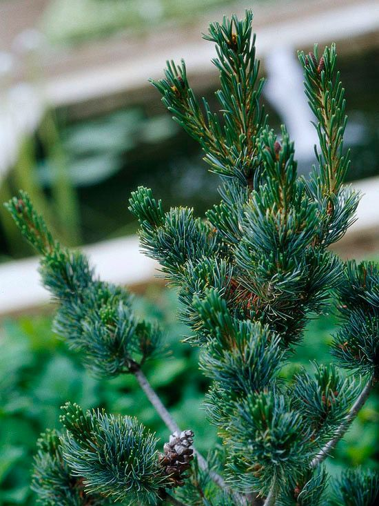 Japanese White Pine- zone6-9  A tree of exceptional beauty, Japanese white pine offers clusters of silvery blue needles and a wonderful habit that looks especially good in winter