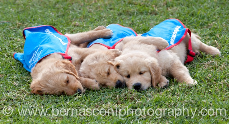 I really do have the best job in the world...read more about these #cute assistance dogs super #puppies and #photography at my blog WHERE IM GIVING AWAY A #CANON #CAMERA! CLICK ON THE PHOTO TO FIND OUT MORE!!