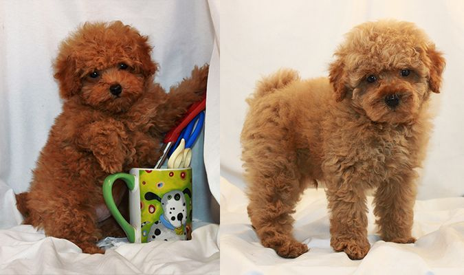 Poodle Dogs Toy Poodle Breeder Dogs Corner Poodle Puppies For