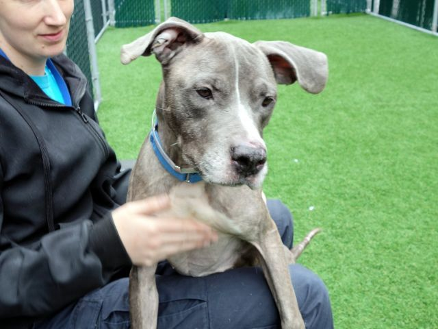 GENEVA - 9243 - - Manhattan  TO BE DESTROYED 10/24/17  **6 MONTH QUARANTINE REQUIRED**A volunteer writes:   Watching Geneva wiggling onto someone's lap like watching a TV comedy – insert your own laugh track!   She's a riot, all tail wags and gentle hugs, and when she stands up on staff's lap to scratch herself I couldn't help but belly laugh – no need for a laugh track there!  She's a thin little girl who in my opinion cou