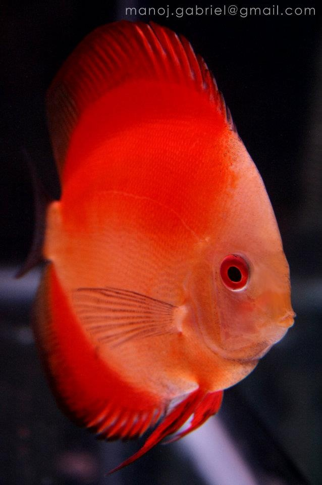 red valentine discus fish