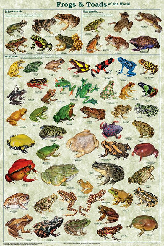 Laminated Frogs & Toads Amphibian Identification Poster/Chart 24x36