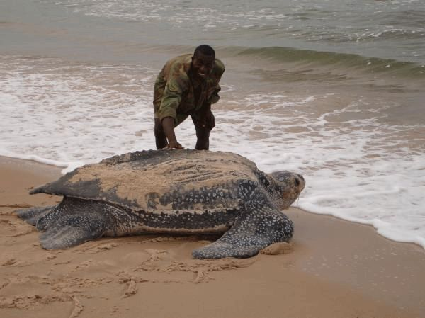 Leatherback Turtle:  The largest living reptiles on Earth.  The only sea turtle that lacks a hard bony shell.  They get most of their food from coastal waters and primarily eat jelly fish.  They are endangered.