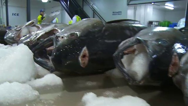 If fish were like cars, tuna would be the Ferraris of the ocean—sleek, powerful, and made for speed. Watch 'The Mighty Tuna'