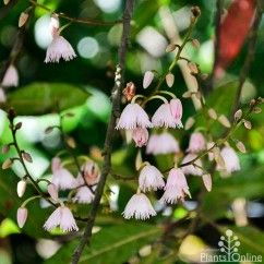Elaeocarpus 'Prima Donna' Small tree to 4m with a slender shape, great for feature planting. High pest and disease resistance, low maintenance. Also known as Blueberry ash or native quandong. #australian #native #flowering