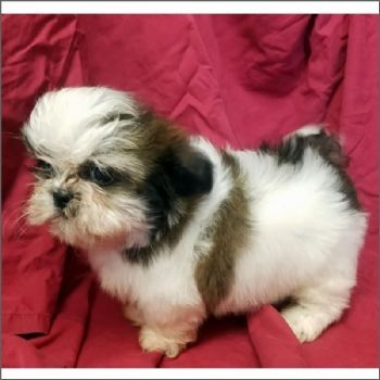 Teacup Shih Tzu puppies #shihtzupuppy