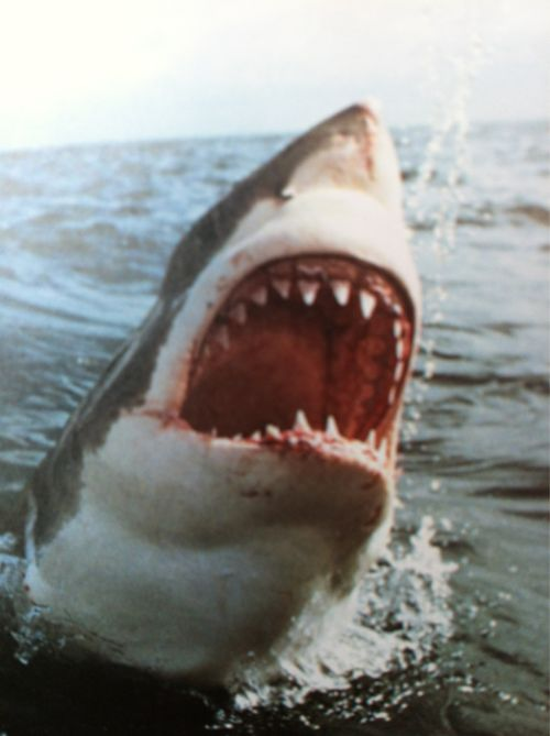 : Great White Sharks, Beaches, Sharksst Rayssawfish, Sea Creatures, Dope Shit, Sharks Week, Sharks Attack, Grilled, Animal