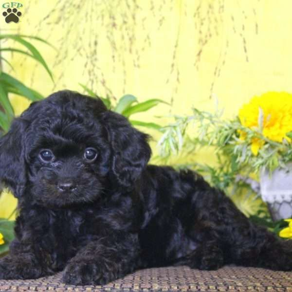 Lexi Cavapoo Puppy For Sale In Pennsylvania Cavapoo Puppies Dog Breed Info Cavapoo Dogs