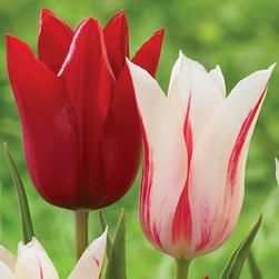 Tulip Bulbs for Sale