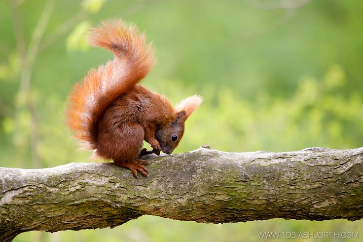 Eurasian red squirrel 1 by tobias hjorth