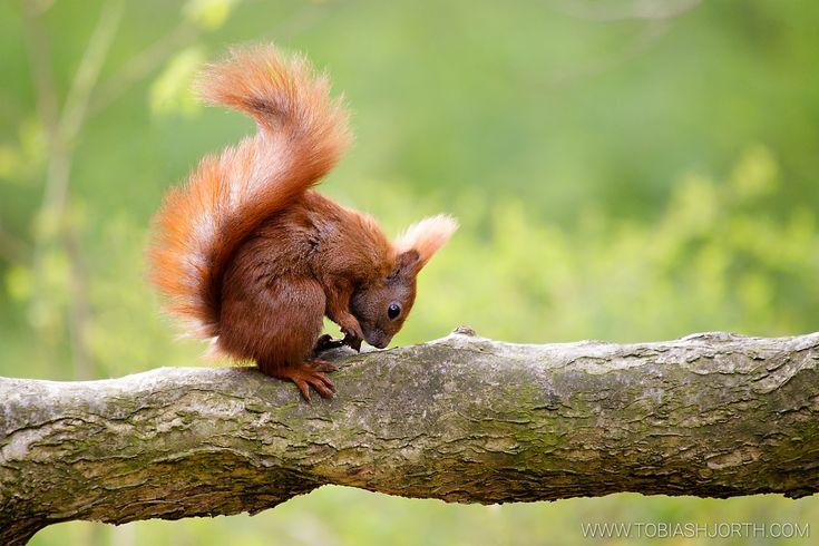 Eurasian red squirrel 1 by tobias hjorth