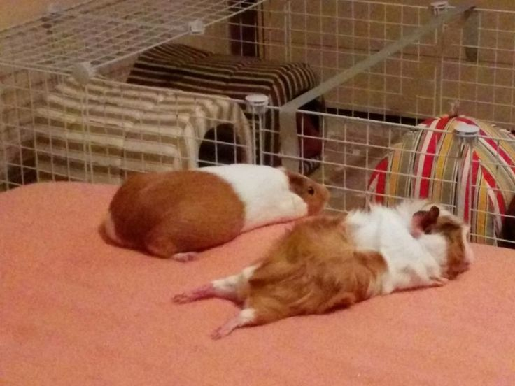 There are only two types of guinea pigs!