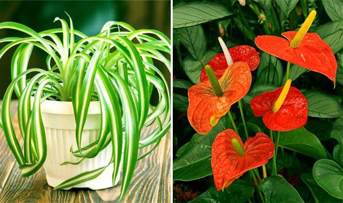 Některé rostliny slouží ve vaší domácnosti nejen na krásu ale také jako přírodní čističky vzduchu! V dnešním článku si společně představíme 11 těch nejlepších rostlin do vaší domácnosti! Některé rostliny mohou absorbovat až 85 % škodlivých látek ve vzduchu. A jaké škodlivé látky se ve vzduchu nachází? Běžně je to …