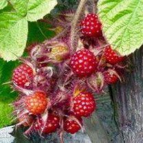 loganbes, loganbessen, loganobaccus, rubus, bessenstruik, loganberry, loganberries, bessenstruiken, fruit, bessen Alles over bessen kweken, rassen, staplaats, verkooppunten, verzorging, oogsten.