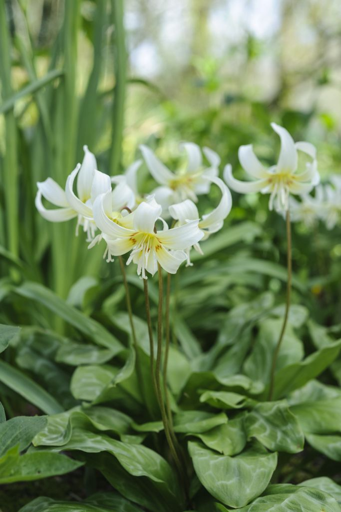 Perfect for a shady spot: Erythronium 'White Beauty'. Discover how to grow it at http://www.gardenersworld.com/plants/search/name/Erythronium/