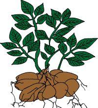 Kartoffel-Quiz