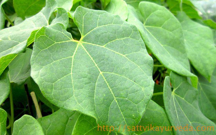 グドゥチとは ハーブ名:グドゥチ(グドゥーチ、ティノスポラ、アムリタ) 学名:Tinospora cordifolia グドゥチはアーユルヴェーダにおいて最も重要なハーブの1つです。 そのアダプトゲンとしての効能の強さから、アムリタ(不老不死の神酒)とも呼ばれます。 アダプトゲンとはストレスや病気への抗体性を高めるハーブのことです。 グドゥチの効果・効能 風邪とインフルエンザの予防や症状の緩和 癌の治療などに使われる化学療法の副作用の軽減 免疫機能の向上 湿疹など慢性的な皮膚の症状 鎮静作用 関節炎の痛みや症状の軽減 肝炎や黄疸の症状の改善 通風やリウマチの症状の改善 アーユルヴェーダの6味で…