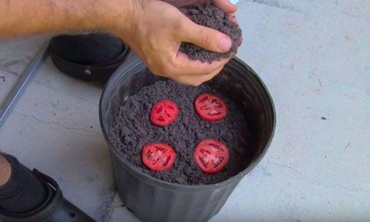 Déposez 4 tranches de tomates dans un pot de terre, découvrez la surprise 10 jours plus tard !