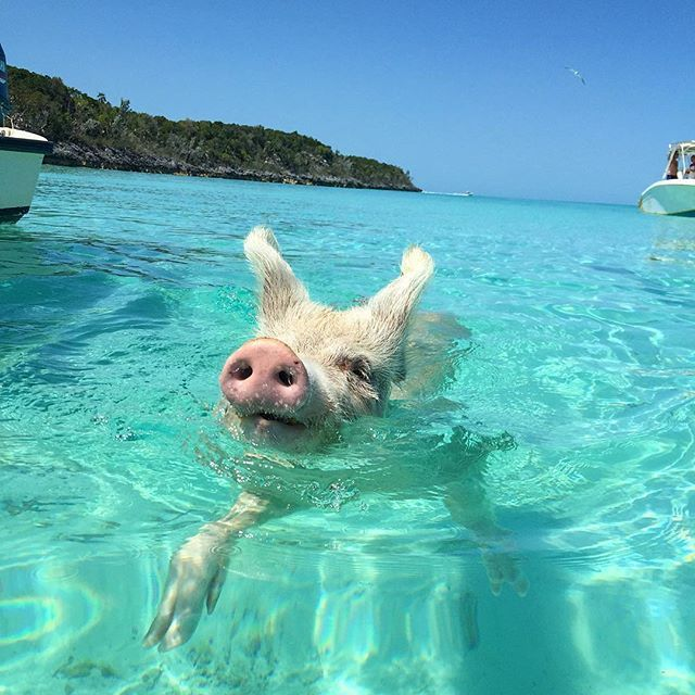 Did you know there's an uninhabited island in the Bahamas where visitors frolic amongst feral swimming pigs?