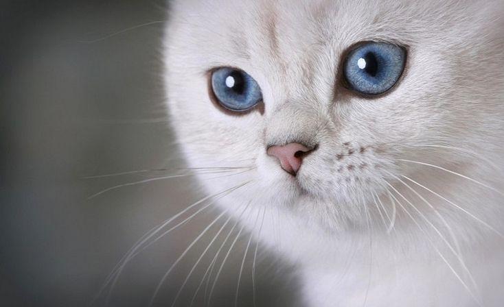 Британская короткошерстная кошка. Фото