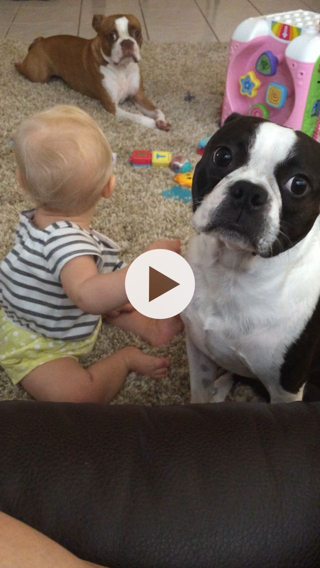 2 Boston terriers and a baby