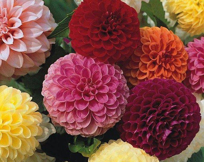 Rare Beautiful Perennial Dahlia Flowers Seeds 100pcs Rainbow Color In 2020 Flower Seeds Flowers Flower Seeds Online
