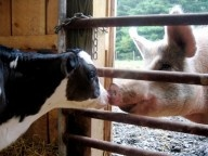 Baby Cow and Pig: Adorable Animals, Amazing Animal, Baby Cows