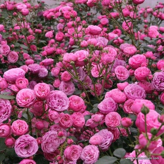 Pomponella Rose