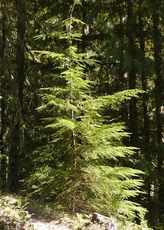 Les 401 meilleures images du tableau pacific nw forest sur for Plante western