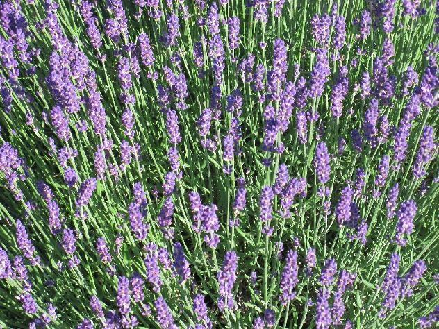 Simple English Lavender Linen Spray Recipe