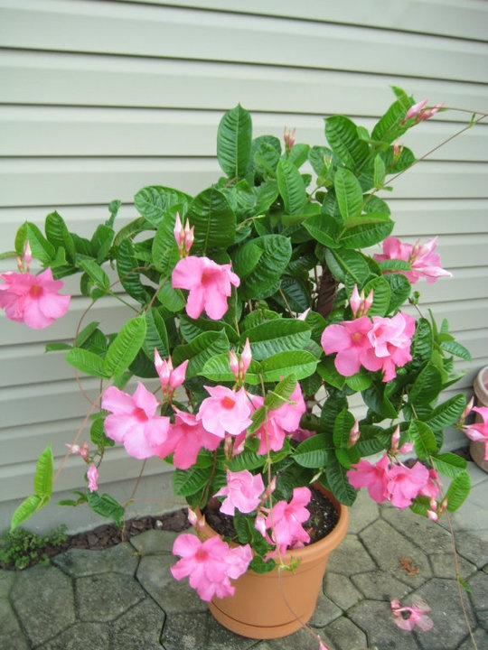 Growing Mandevilla: 17 Best Images About Plants And Flowers I Love On