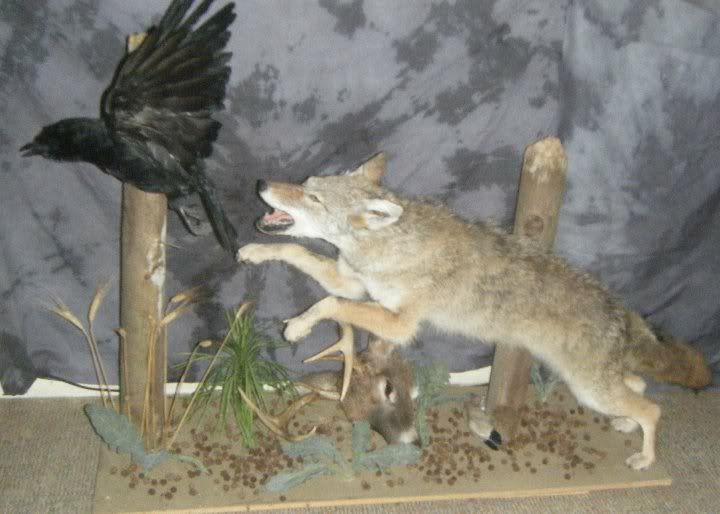 17 Best Images About Coyote Mounts On Pinterest Coyotes