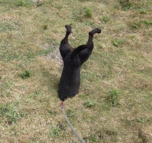 Patterdale Terrier, nuts!!!