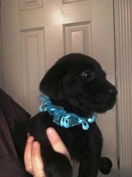 Litter Of 9 Labrador Retriever Puppies For Sale In Ocala Fl Adn 29242 On Puppyfinder Com Gende Labrador Retriever Labrador Retriever Puppies Puppies For Sale
