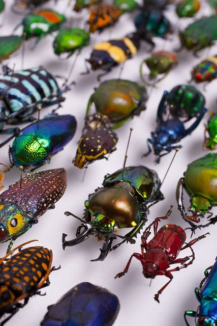 """beetles--okay, not cute """"pets"""", but I wanted to save this picture of the interesting variety of Beetles for the kids..."""