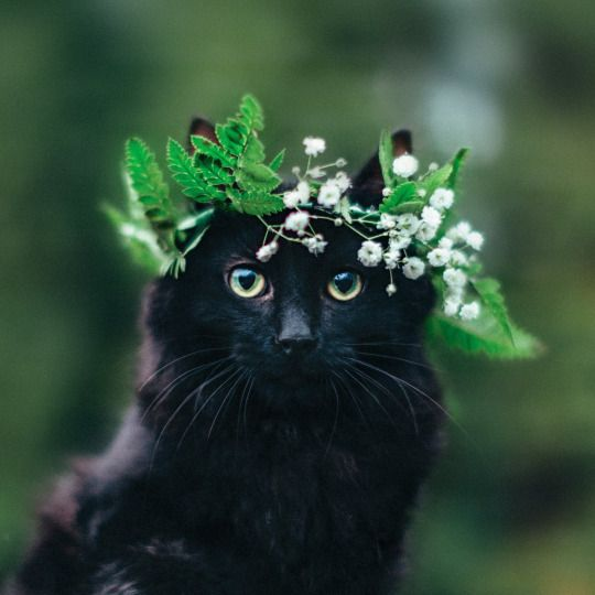 Bridal wreath on a black cat. Too cute!
