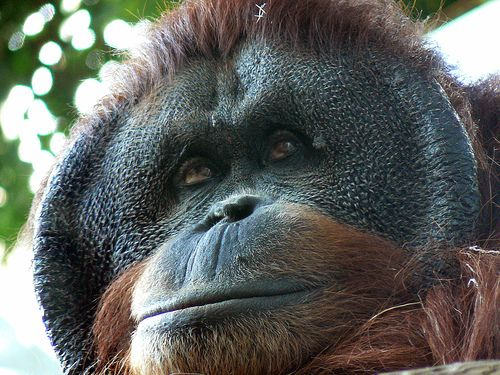 World Orangutan Day is taking place on the 19th August. What are you going to do to help our fellow Primates?
