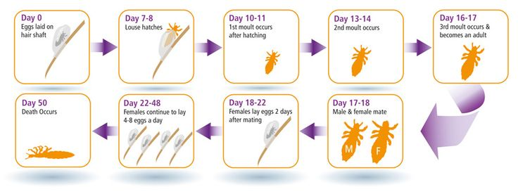 Explanation of Louse Life cycle with detailed image. #louse #lifecycle #lice