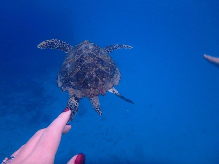 Snorkelling with turtles - Barbados