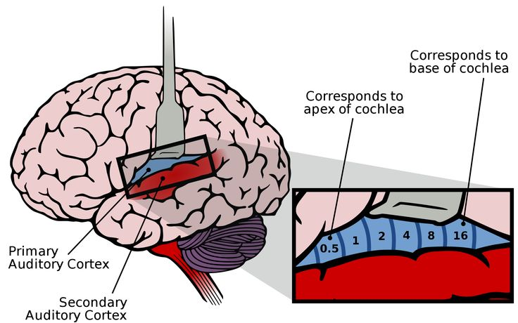 The brain and the cochlea: where they connect and process sound.