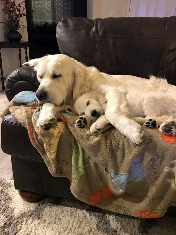 Best 25 Funny Labradors Ideas On Pinterest Funny Labs