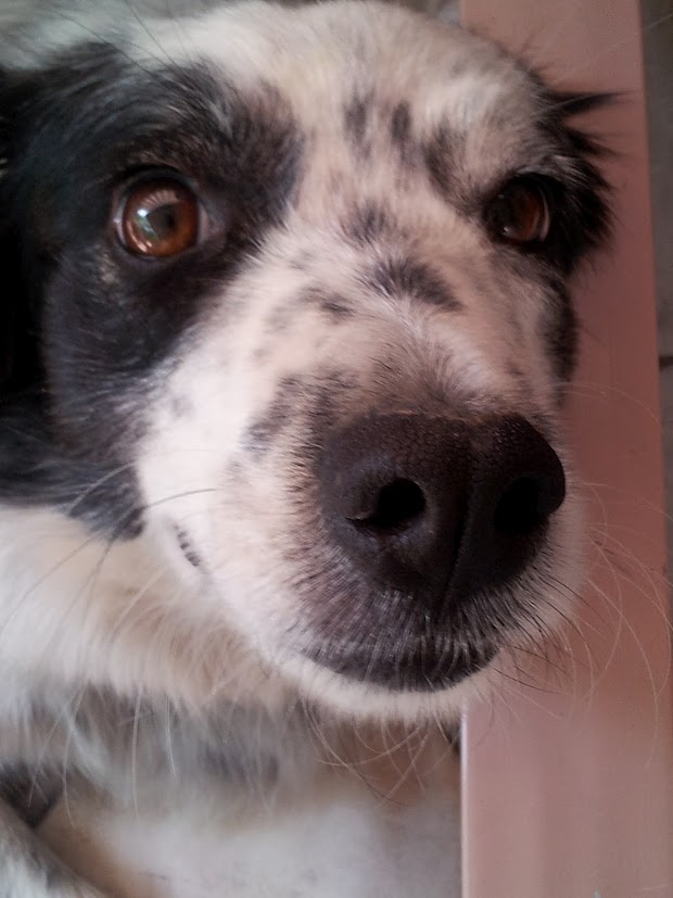 """Border Collie thinking, """"what the heck you doing so close"""