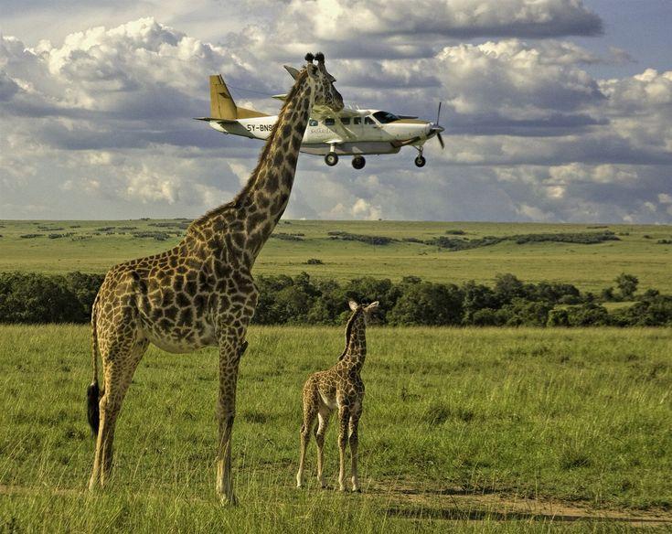 Něco k snědku? Život v savaně je drsný, žirafa si kouká přilepšit v oblacích.