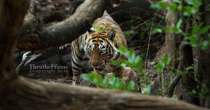 Wildlife Photos with a Bridge Camera: A Tiger Safari and a Sony RX10 III