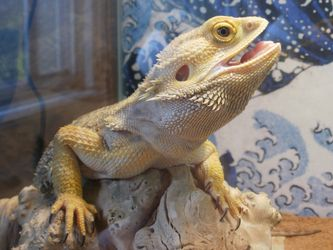 Care sheet on bearded dragons