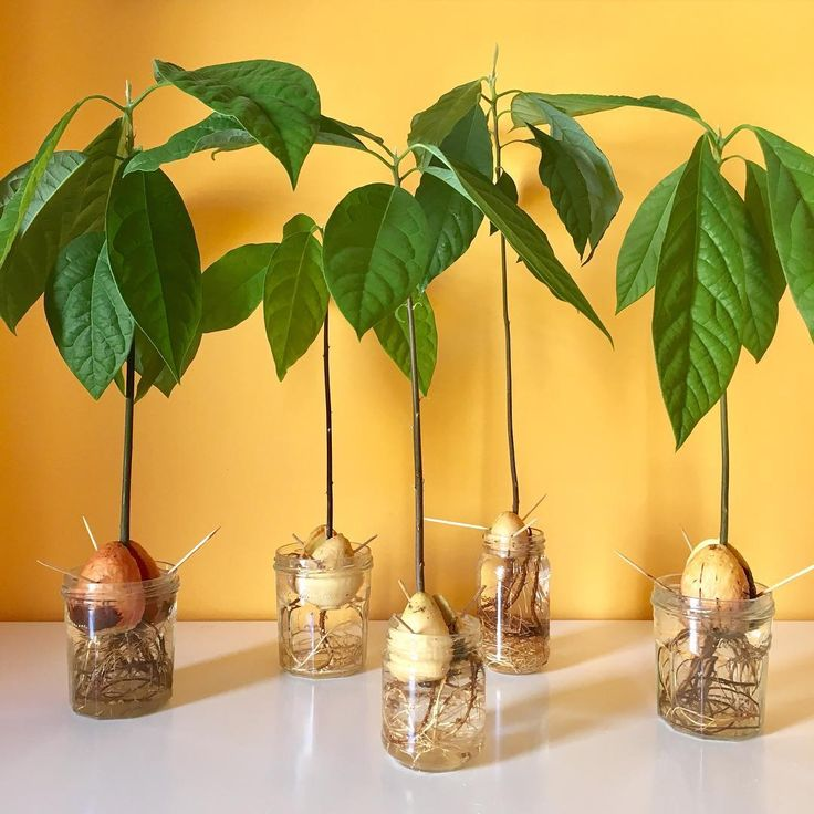 Growing avocado from seeds can be easy with patience and