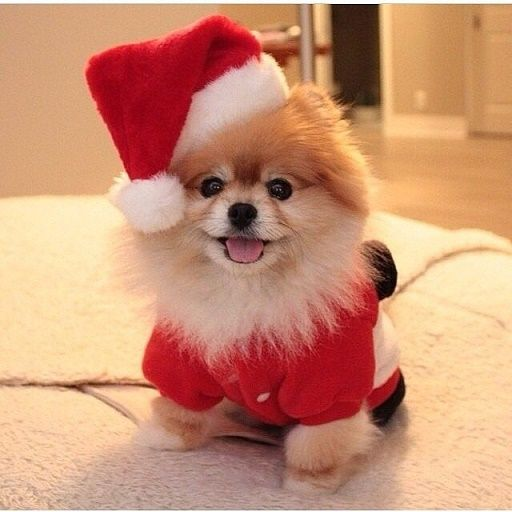 Dogs Donning Santa Hats10