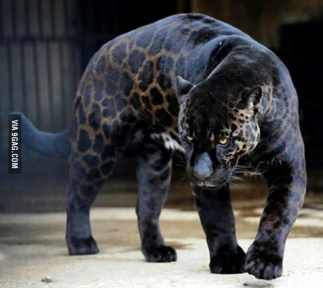 """The Black Panther"" One of the rarest animal on the planet!"